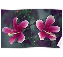 Pink Double Tropical Hibiscus Poster