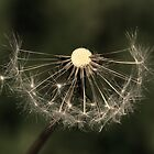 Dry Dandelion by Jorge's Photography