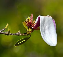 Falling Magnolia by Jorge's Photography
