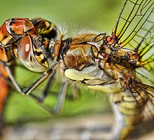 Mating dragonflies by Guy Carpenter