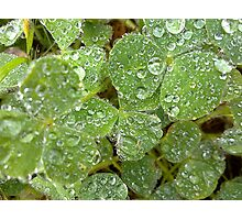 Dew On The Clover Photographic Print
