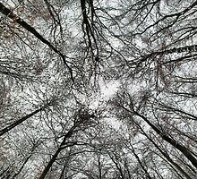 Snowy tree canopy by Guy Carpenter