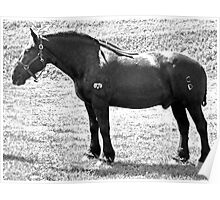 Percheron Stud Poster