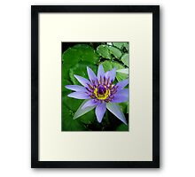 Water lily - Colorata, Blue Pigmy Framed Print