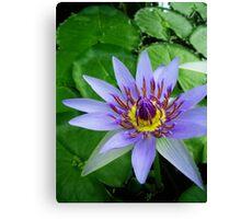 Water lily - Colorata, Blue Pigmy Canvas Print