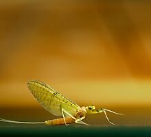 Cahill Mayfly by Thomas Young