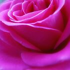Pink Rose close up by Karen  Betts