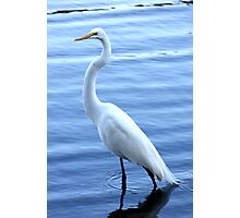 Great Egret Standing Tall Photographic Print
