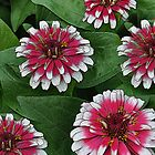 Dahlia Delight by Diane E. Berry