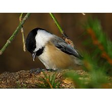 Black-capped Chickadee Eating a Sunflower Seed Photographic Print