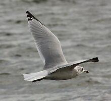 Gull in Flight by AnnDixon