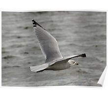 Gull in Flight Poster