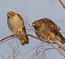 011611 Red Tailed Hawks by Marvin Collins