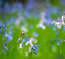 Bluebell Spring by Sarah-fiona Helme