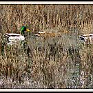 Traveling Ducks by scenebyawoman