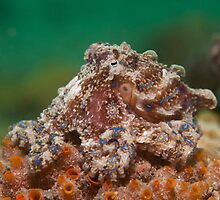 Blue Lined Occy by daveharasti