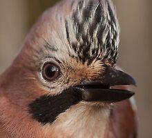 Eurasian Jay by Jon Lees