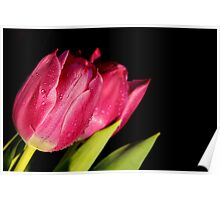 Tulips with water droplets  Poster