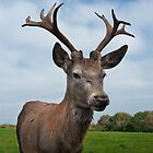 Stag, Up Close and Personal by dave-vaughan