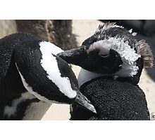 Hen Pecked -  African Penguins Cleaning Photographic Print