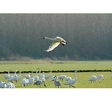 Snow Goose Landing Photographic Print