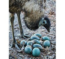 Emu Admiring Her Newly Layed Eggs Photographic Print