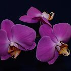 Pink Phalaenopsis - multiple flowers by orkology