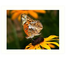 Variegated Fritillary Feeding on Black-eyed Susan Art Print