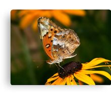 Variegated Fritillary Feeding on Black-eyed Susan Canvas Print