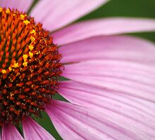 Pink Coneflower by crystalseye