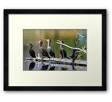 Singing cormorants! Framed Print