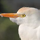 Cattle egret up close by jozi1