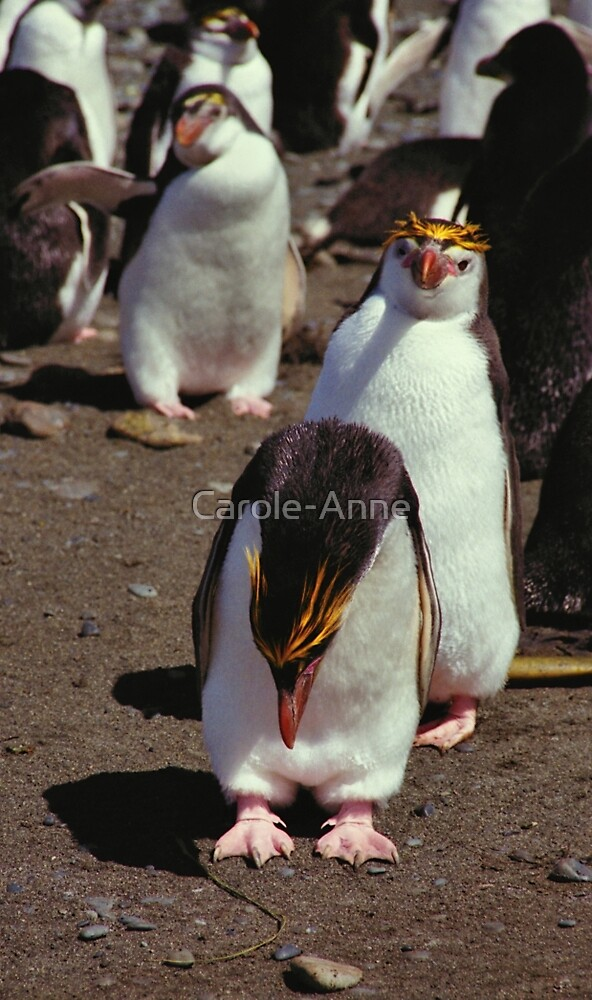 Royal Penguins on the Beach at Macquarie Island by Carole-Anne