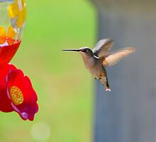 Thirsty Hummer by Denise N Young