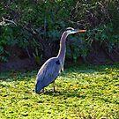 Adult Blue Heron by flyfish70