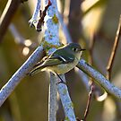 Ruby-crowned Kinglet by flyfish70