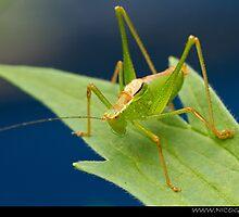 Grasshopper on leaf by Angel1965