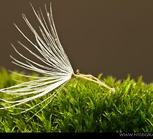Fluff on wet moss by Angel1965