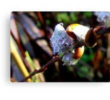 First Bud Canvas Print