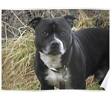 That Staffordshire Bull Terrier Poster