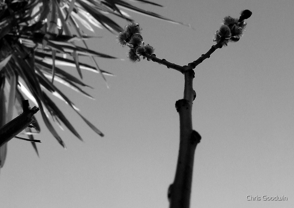 First Bud, Black & White by Chris Goodwin