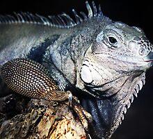 Iguana by Paulette1021