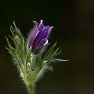 A Pasque Flower by Irina777