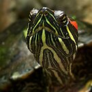 Turtle/Terrapin by AnnDixon