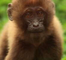 Baby Gelada II Sticker