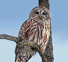 Barred Owl - Low, Quebec by Jim Cumming