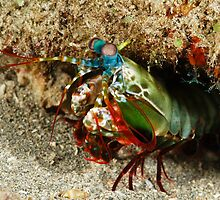peacock mantis shrimp - onondactylus chiragra by spyderdesign