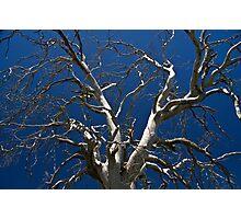 Silver limbs Photographic Print