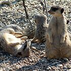 Meerkat Family by Paul  Green