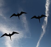 Frigate Bird Formation by Paul Duckett